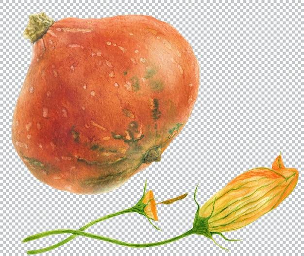 Кабачки. акварельные ботанические иллюстрации трех зеленых фруктов