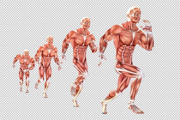 Medical illustration of running man anatomy