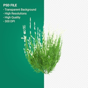 Muhlenbergia rigen tree 3d render isolated on transparent background