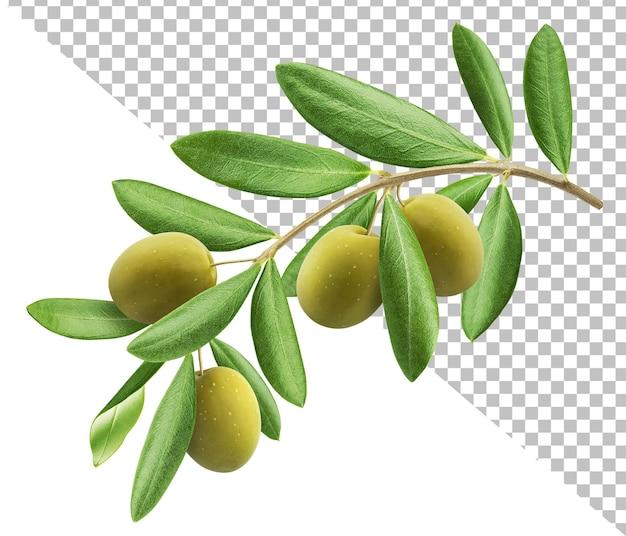 分離されたオリーブの木の枝