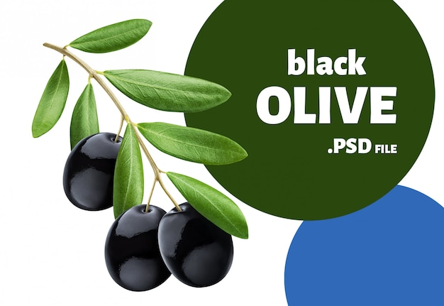 Olive tree branch with black olives isolated on white