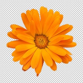 オレンジ色のキンセンカの花の分離レンダリング