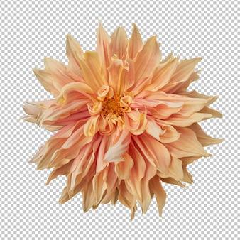 オレンジ色のダリアの花の分離レンダリング