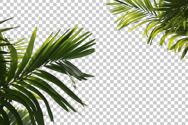 Palm tree leaves foreground isolated