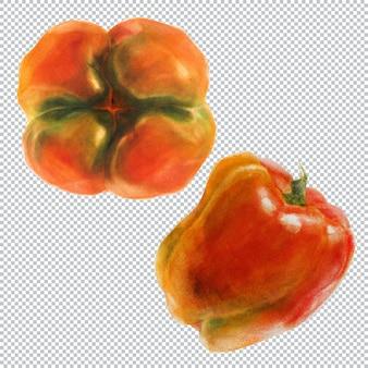 Паприка перец. акварельные ботанические иллюстрации двух плодов красного острого перца