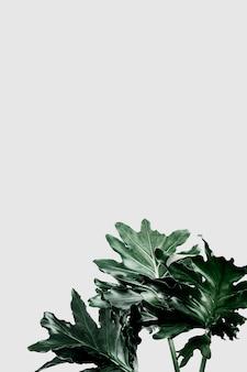 회색 배경에 philodendron xanadu 잎