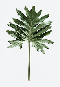 Philodendron xanadu leaf on white background
