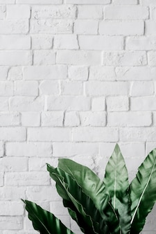 Philodendron xanadu leaf