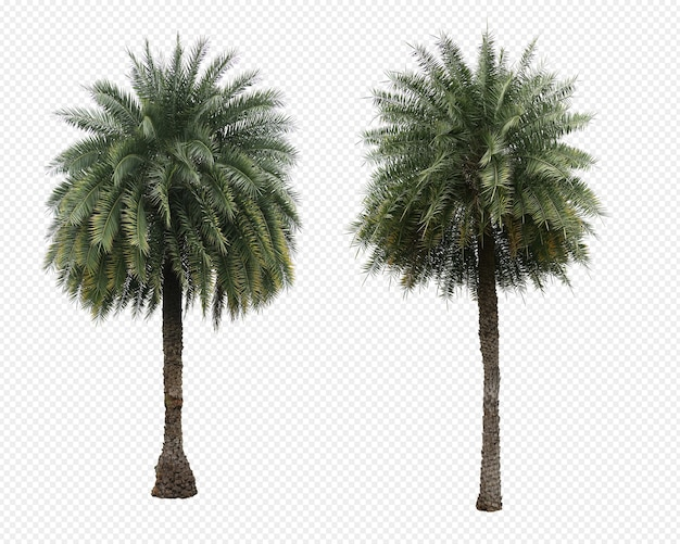 Phoenix dactylifera palms tree set isolated
