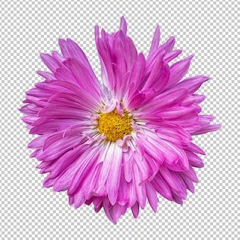 Розовый цветок хризантемы изолировал рендеринг