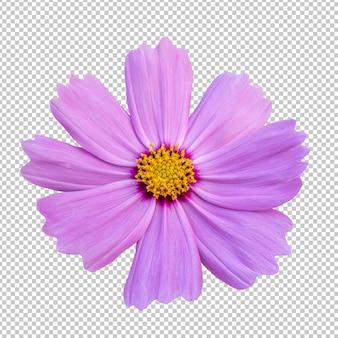 Розовый космос цветок изолированные рендеринг
