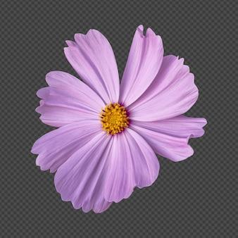 ピンクのコスモスの花の分離レンダリング
