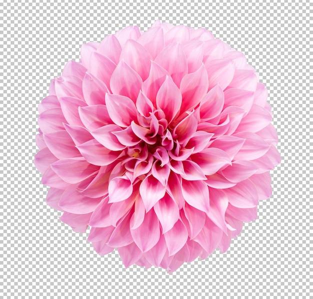 孤立した白い背景にピンクのダリアの花が咲く枝。花のオブジェクトのクリッピングパス。