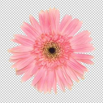 Pink gerbera flower transparency wall. floral object.