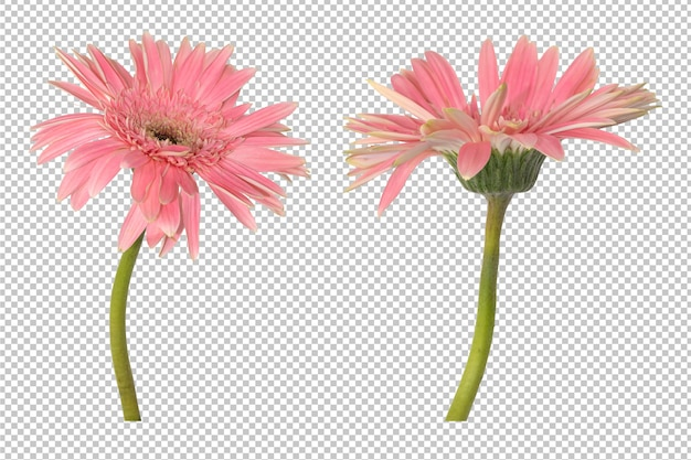 거베라 꽃