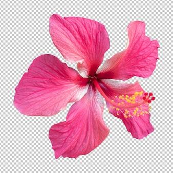 Розовый цветок гибискуса изолированные рендеринг