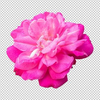 Розовый цветок розы изолированные рендеринг