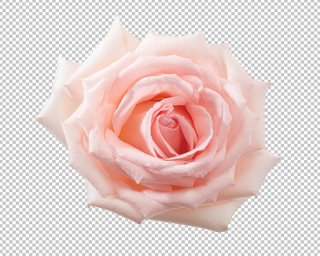 Pink rose flowers isolated