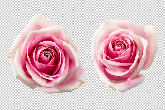 分離されたピンクのバラの花