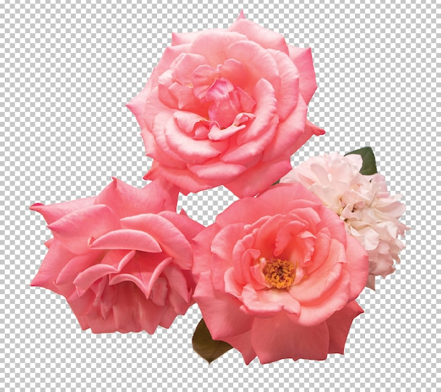 Pink rose flowers on transparent