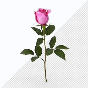 分離されたピンクのバラ