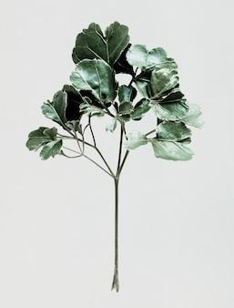 흰색 배경에 polyscias 잎