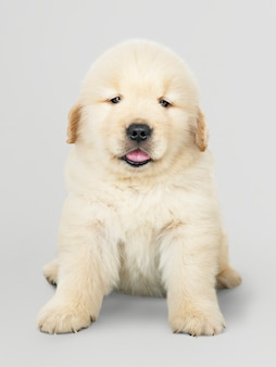 Portrait of an adorable golden retriever puppy
