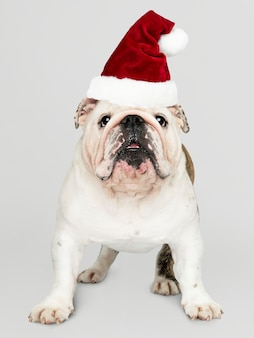 Portrait of a cute bulldog puppy wearing a santa hat