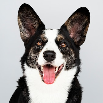 Portrait of a happy cardigan welsh corgi