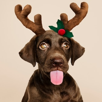 Portrait of a cute Labrador Retriever puppy wearing a Christmas reindeer headband