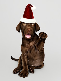 Portrait of a cute Labrador Retriever puppy wearing a Santa hat