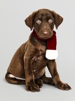 Portrait of a cute Labrador Retriever wearing a  Christmas scarf