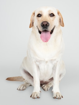 래브라도 리트리버 강아지의 초상화