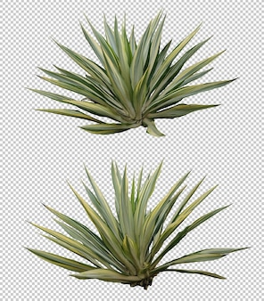 Realistic agave furcraea set isolated