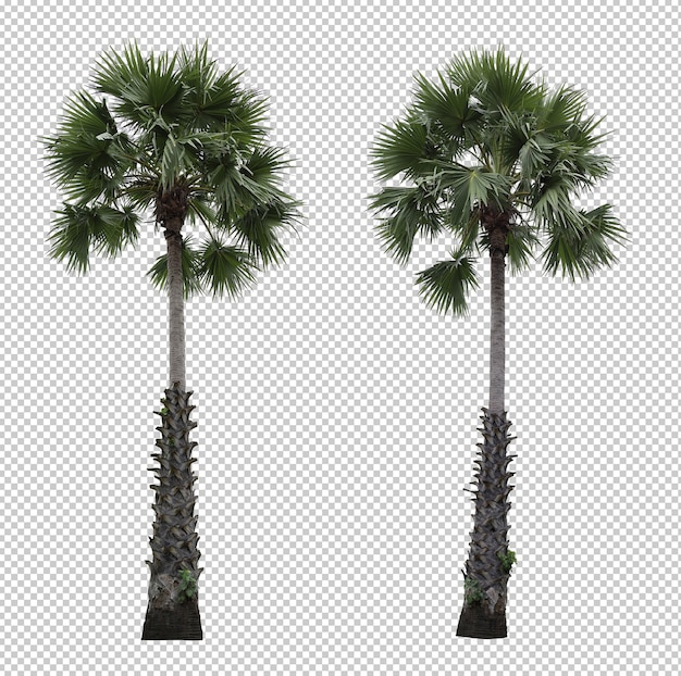 Realistic asian palmyra palm tree set isolated