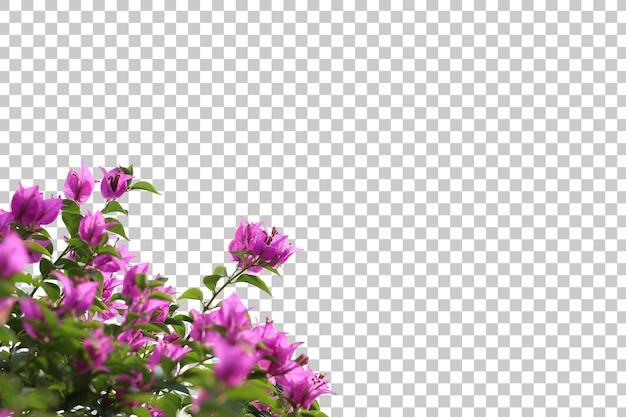 Realistic bougainvillea foreground isolated