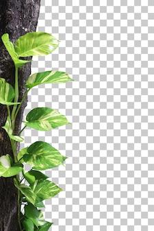 Реалистичный передний план листьев epipremnum aureum изолирован