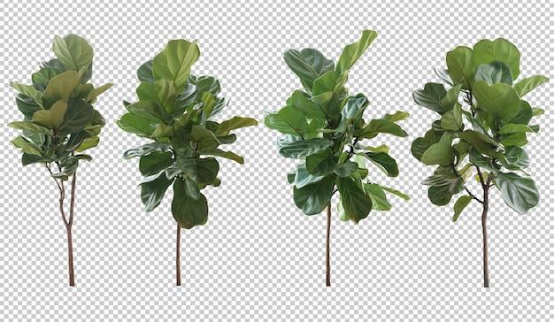 Realistic ficus lyrata tree in 3d rendering