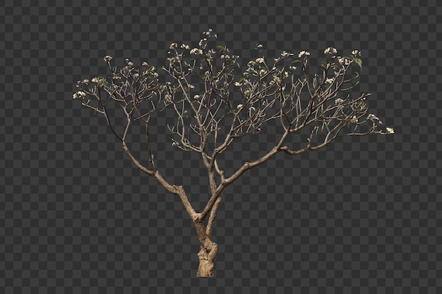 Realistic frangipani tree foreground isolated