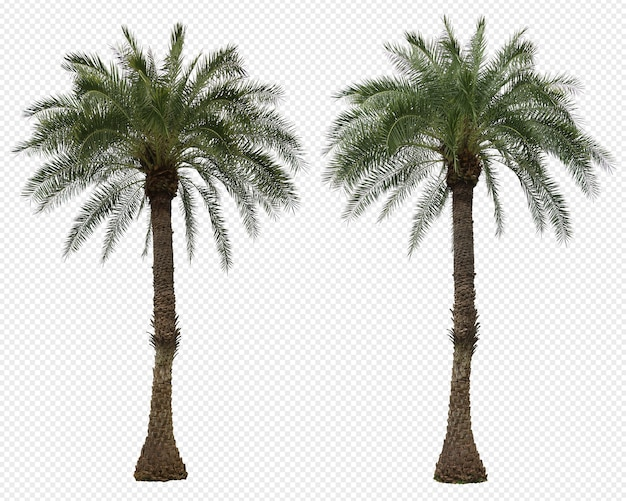 Realistic phoenix dactylifera palm set