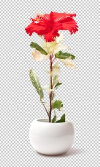 孤立した鍋に赤いハイビスカスの花