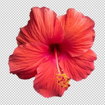 Красный цветок гибискуса изолированные рендеринг