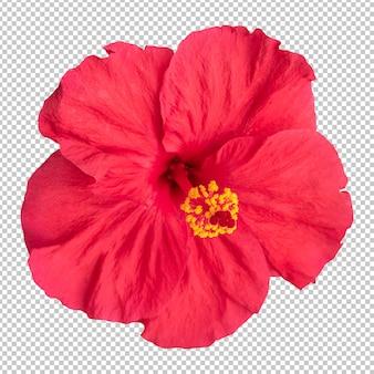 赤いハイビスカスの花の分離レンダリング