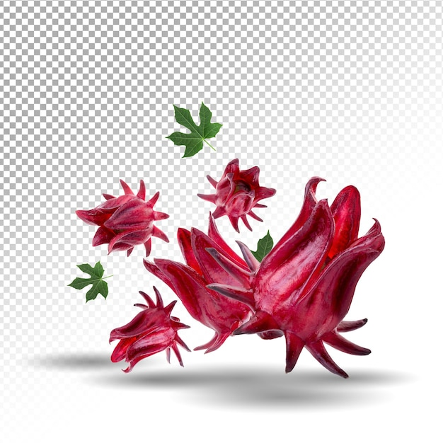 Roselle hibiscus sabdariffa red fruit flower isolated