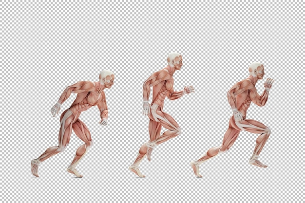 Running cycle anatomical illustration