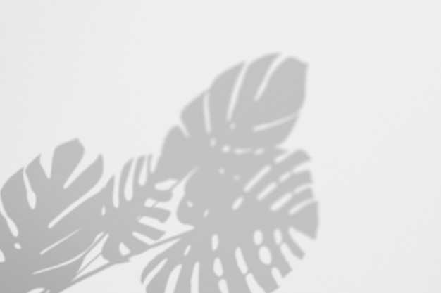 Shadows tropic monstera leaves on a white wall
