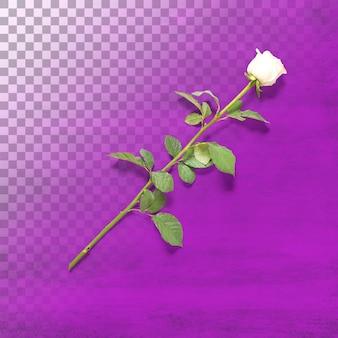 透明に分離された単一の白いバラ