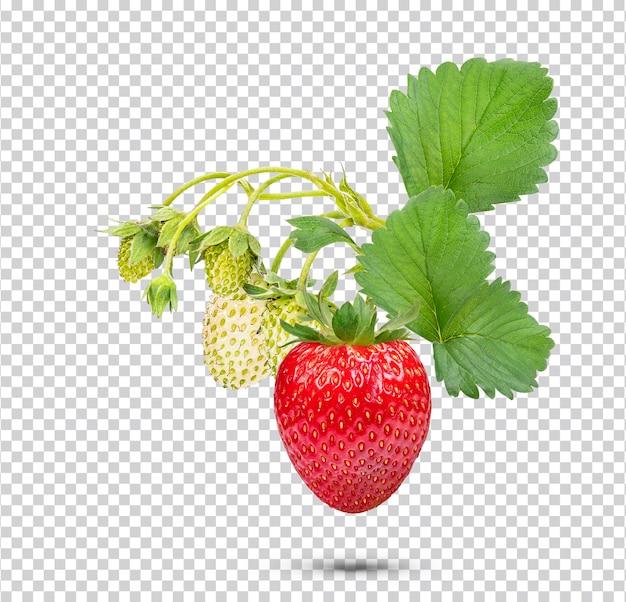 고립 된 잎 딸기