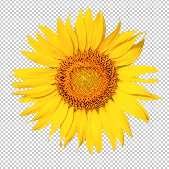 Sunflower flower isoleated transparency background