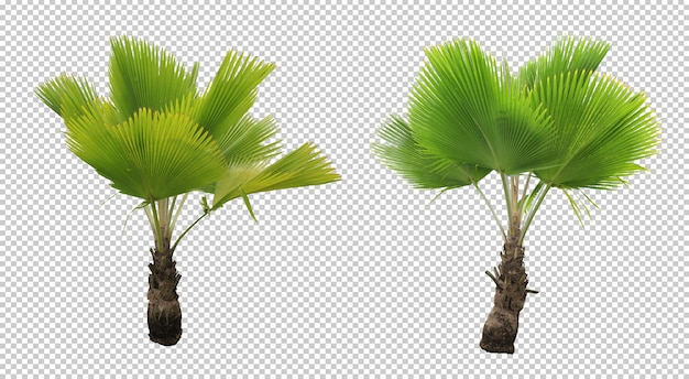 Thurston palms tree set isolated Premium Psd
